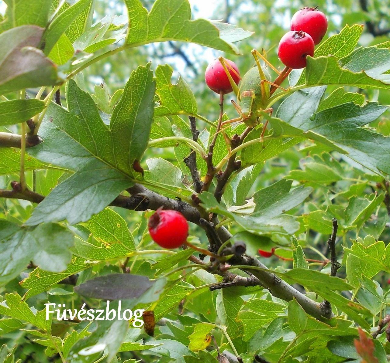 hogyan kell főzni galagonya gyümölcsöket magas vérnyomás esetén)